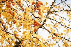 Jesienny ginkgo drzewo z kolorów żółtych liśćmi i mnóstwo żółtymi owoc Obraz Stock
