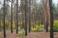 Jesienny iglasty las Obraz Stock