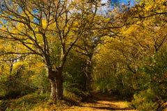 Jesienny krajobrazowy kolor żółty i pomarańczowy ślad dostawać w las zdjęcia stock