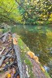 Jesienny las z dziką rzeką Zdjęcie Stock