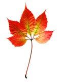 jesienny liść Zdjęcia Stock