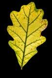 jesienny liść dąb fotografia royalty free