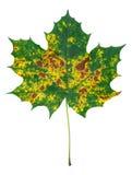 Jesienny liść klonowy Obraz Royalty Free