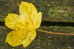 Jesienny malujący liść Fotografia Royalty Free
