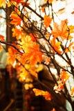 Jesienny marple rozgałęzia się z żółtymi liśćmi Obrazy Stock