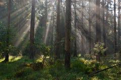 Jesienny ranek z sunbeams wchodzić do las Fotografia Stock