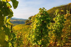 Jesienny winnica przy Moselle w Niemcy Obrazy Stock
