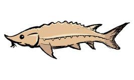 Jesiotr słodkowodna ryba Obraz Stock