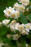 Jessamine. Strongly smelling white flowers of a jasmin and green leaves Stock Photo
