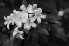 Jessamine kwiaty Fotografia Stock