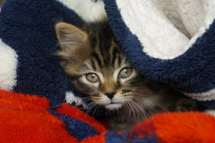 Jesse the kitten in a blanket. Royalty Free Stock Images