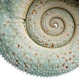 jest kameleona furcifer nosatymi pardalis młodych zdjęcia stock