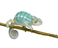 jest kameleona furcifer nosatymi pardalis młodych obrazy royalty free