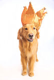 Jester σκυλί Στοκ Εικόνα