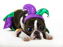 Jester dog. A boston terrier dressed up in a jester suit Stock Images