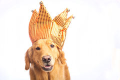 Jester Dog Royalty Free Stock Images