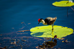 Jesus Bird - (Irediparra gallinacea). Lakeside in Kununurra, dozens of these little birds walk around on the lily pads. They don't stop on one pad for long as stock images