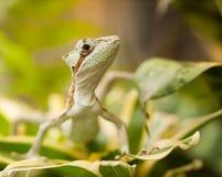 Jesus Christ Iguana on the leaf - Laemanctus serratus. Portrait of Serated Caquehesd Iguana lizard - Laemanctus serratus Royalty Free Stock Images