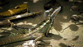 Jesus Christ Lizard Royaltyfri Bild