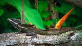 Jesus Christ Lizard Royaltyfri Foto