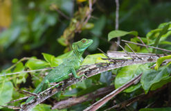 Jesus Christ Lizard Stock Images