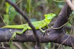 Jesus Christ lizard - Basiliscus plumifrons - Costa Rica. Juvenile Jesus Christ lizard - Basiliscus plumifrons - Costa Rica - Osa peninsula - Central America Stock Images