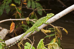 Jesus Christ lizard on a branch Royalty Free Stock Photo