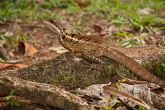Jesus Christ lizard in Corcovado national park in Costarica stock photography