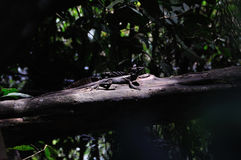 Jesus Christ Lizard in Costa Rica Royalty Free Stock Photography