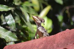 Jesus Christ Lizard. This lizard is enjoying a little sun stock photos