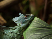 Jesus Christ Lizard royalty free stock image