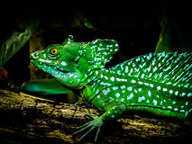 Jesus christ lizard. In a zoo called Burgers zoo stock photo