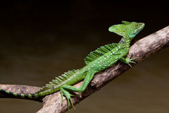 Jesus crist lizard sitting on a branch. Above water Royalty Free Stock Image