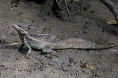 Jesus Lizard, Basilisk, Costa Rica. A common basilisk Basiliscus basiliscus, or Jesus Lizard, stands in the mud next to a river near Quepos, Costa Rica, June Stock Images