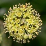 Jet black ants (Lasius fuliginosus) on ivy flowers Royalty Free Stock Photos