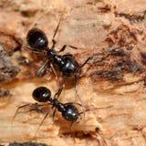 Jet black ants (Lasius fuliginosus) Stock Photography