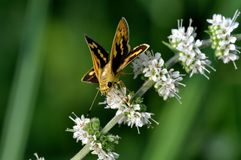 Jet butterfly Stock Image
