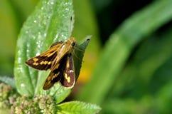 Jet butterfly Stock Photography