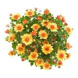 jet d'orange de chrysanthemum Photo libre de droits