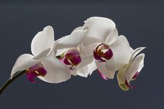 Jet d'orchidée, phalaenopsis, sur un fond bleu Photos stock