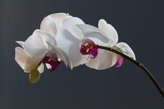 Jet d'orchidée, phalaenopsis, sur un fond bleu Photo libre de droits