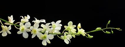 Jet d'orchidée sur le noir Photo libre de droits