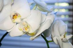 Jet de courbement d'une orchidée de mite blanche Photos libres de droits