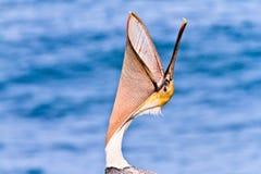 Jet de tête de pélican de Brown Photo libre de droits