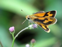 Jet look alike butterfly on the flower. Close up picture of jet look alike butterfly on a flower Stock Photo