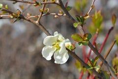Jet Trail Flowering Quince fotografia de stock