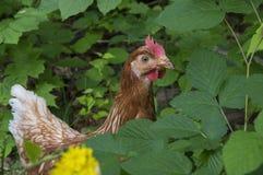 Jeter un coup d'oeil de poulet Photos stock
