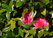 Jeter un coup d'oeil des camélias Image stock