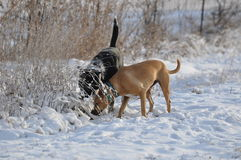 Jethro &蜂蜜,寻找在雪 免版税库存照片