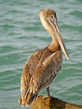 Jetty pelican Stock Photography